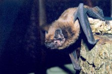 Leisler's bat photo