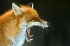 Yawing Fox by Bence Mate