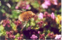 A Heath Beefly