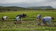 A Turnip Thinning Competition at Cregneash