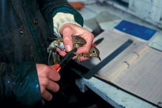Placing a ring on a bird's leg. Picture by Tim Bag