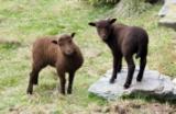Loaghtan meg lambs at Cregneash