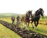 Traditional Ploughing techniques practiced at Cregneash.
