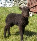 A Loghtan lamb at Cregneash.