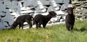 Newborn lambs at Cregneash.