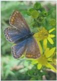 Common Blue Butterfly by Tara Cubbon