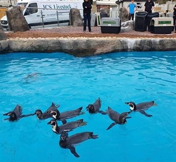 Rare penguin chicks successfully moved to new ho