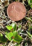 least willow (Salix herbacea) pictured with a 2cm wide Manx penny coin
